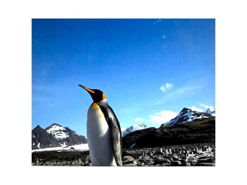 King Penguin March to the Sea at 0400 in Antarctic